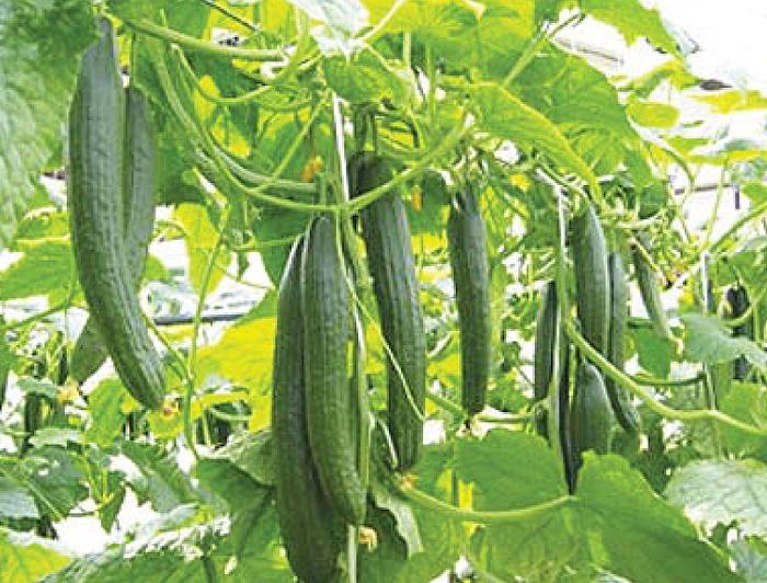 C&A Farm – Cucumbers