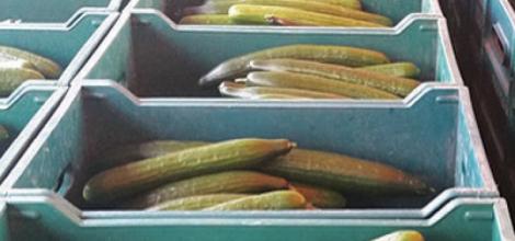 DiNiro Farms – Cucumbers