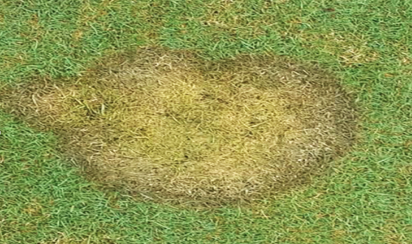 Microdochium in Turfgrass