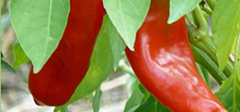 Red Peppers – Greece