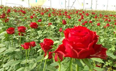 Rose Trials